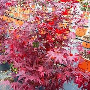 Fire glow japon akçaağacı - Acer palmatum fire glow (ACERACEA)