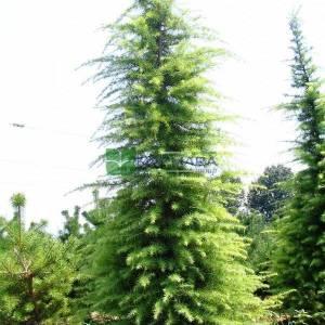 Himalaya sediri, himalaya çamı - Cedrus deodora (PINACEAE)