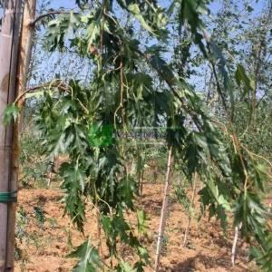 İnce yapraklı aşılı beyaz gövdeli huş,salkım huş - Betula pendula laciniata (BETULACEAE)