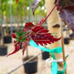 İnce kırmızı yapraklı aşılı beyaz gövdeli huş - Betula pendula purpurea (BETULACEAE)