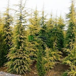Altuni yapraklı himalaya sediri - Cedrus deodora aurea (PINACEAE)