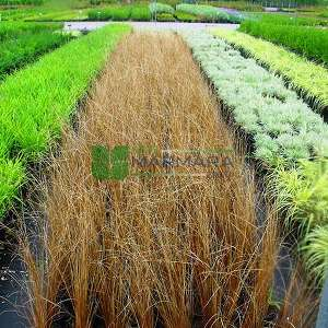 Kahverengi Kareks, deri saz - Carex buchananii (CYPERACEAE)