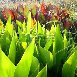 Tesbih çiçeği, Kanna çiçeği, Arar otu - Canna indica (CANNACEAE)