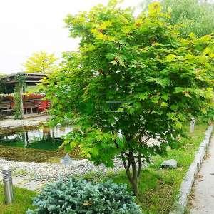 Vitifolium japon akçaağacı - Acer palmatum japonicum vitifolium (ACERACEA)