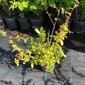 Japon ayvası, Bahar dalı - Chaenomeles (Cydonia) japonica (ROSACEAE)