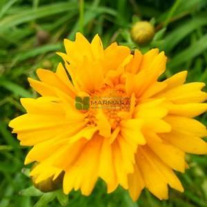 Sarı çiçekli kız gözü - Coreopsis grandiflora (ASTERACEAE)