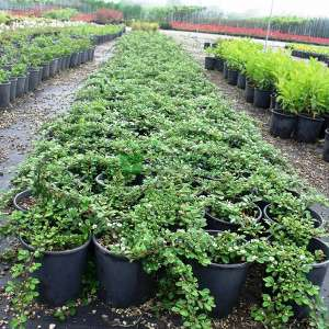 Cotoneaster Species, Bearberry Cotoneaster
