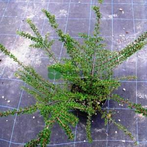 Yayılıcı dağ muşmulası - Cotoneaster horizontalis (ROSACEAE)