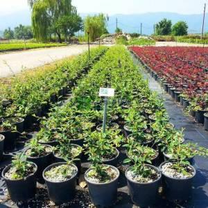 Söğüt yapraklı herdem yeşil dağ muşmulası - Cotoneaster salicifolius (ROSACEAE)