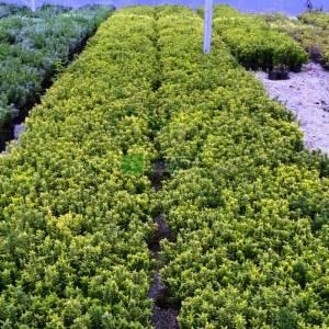 Altuni çıtır taflan, minyatür altuni taflan, çin taflanı - Euonymus microphyllus pulchellus aureus (CELASTRACEAE)