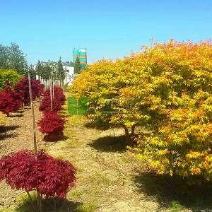 Katsura japon akçaağacı - Acer palmatum katsura (ACERACEA)