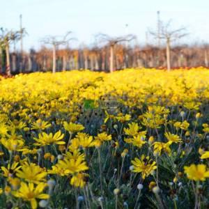 Sarı çiçekli papatya, Güneş papatyası - Euryops pectinatus (ASTERACEAE)
