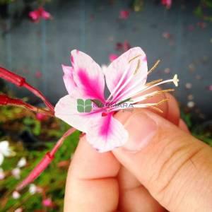gaura, gavura çiçeği,uçuşan kelebekler - Gaura lindheimeri siskiyou pink (ONAGRACEAE)