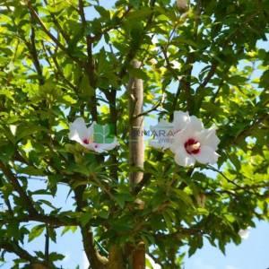 Kalp şekilli kırmızı-beyaz çiçekli hatmi ağacı - Hibiscus syriacus helene tige (MALVACEAE)