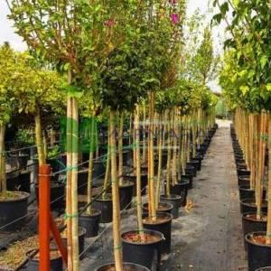 hatmi ağacı eflatun çiçekli aşılı kısa tijli, baston formlu - Hibiscus syriacus magenta chiffon (MALVACEAE)