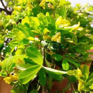 sibirya bezelye ağacı - Caragana arborescens pendula (FABACEAEA)