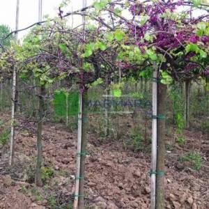 Ağlayan kanada erguvanı,sarkık formlu aşılı, - Cercis canadensis lavender twist (LEGUMINOSAE)