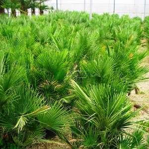 Bodur Akdeniz Yelpaze Palmiyesi,Bodur palimye - Chamaerops humilis (ARECACEAEA)