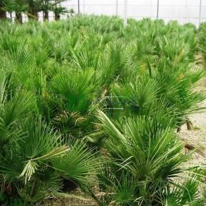 Bodur Akdeniz Yelpaze Palmiyesi, Bodur palmiye - Chamaerops humilis (ARECACEAEA)