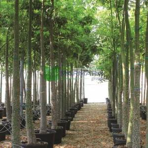 Maymun çıkmaz ağacı, Maymun çıkamaz ağacı, Maymun tırmanmaz, İpek ağacı,Kapok ağacı - Chorisia (ceiba) speciosa (BOMBACACEAE)