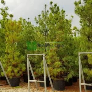 Himalaya Çamı, Butan Çamı,ağlayan çam - Pinus wallichiana (P. griffithii) (PINACEAE)