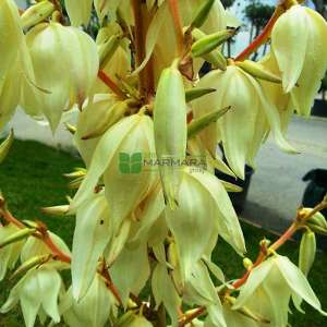 Yuka, Yukka, Avize çiçeği,Ademin iğnesi,Kaşık yaprağı,iğneli palmiye - Yucca filamentosa (AGAVACEAE)