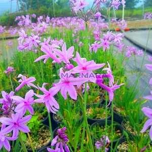 Sosyete sarımsağı, Sarımsak,pembe zambak - Tulbaghia violaceae (AMARYLLIDACEAE)