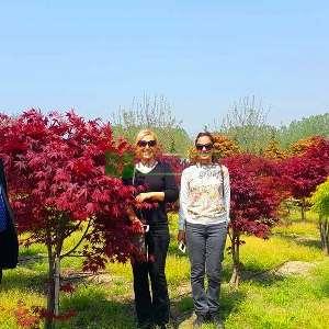 Blood good japon akçaağacı - Acer palmatum red blood good (ACERACEA)