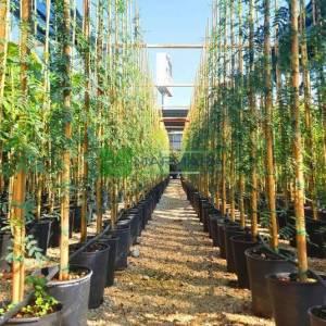 Tatlı Akasya, Kokulu Amber ağacı, amber mimozası, kokulu akasya - Acacia (Vachellia) farnesiana (FABACEAE)