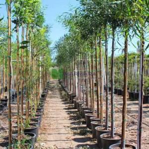 Kıbrıs akasyası, Kıbrıs mimozası,Altınçelenk,salkım akasya - Acacia cyanophylla (Acacia saligna) (MIMOSACEAE)