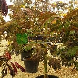 Mor yaprak Mimoza Ağacı, Yaz Çikolatası,Kırmızı gülibrişim - Albizia julibrissin 'Summer Chocolate' (FABACEAEA) Mor yaprak Mimoza Ağacı, Yaz Çikolatası,Kırmızı gülibrişim - Albizia julibrissin Summer Chocolate (FABACEAEA) (1).jpg