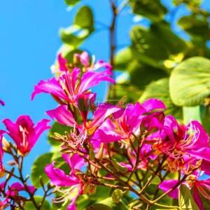 Mor çiçekli bahunya, orkide ağacı, kelebek ağacı, Hawaii orkide ağacı - Bauhinia (Phanera) purpurea (CAESALPINIACEAE)