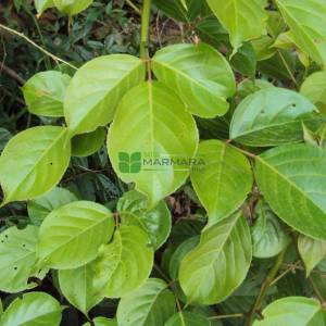 Toog Ağacı, Piskopos ahşabı - Bischofia javanica (EUPHORBIACEAE)
