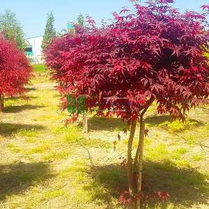 Japanese Maple Red Emperor