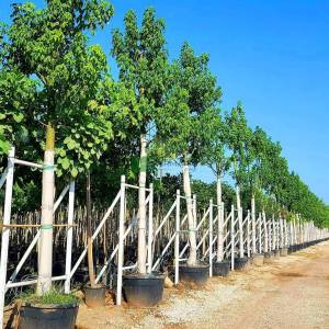 Japon Kavağı,Avustralya alev ağacı,Alev şişe ağacı - Brachychiton acerifolius (MALVACEAE)