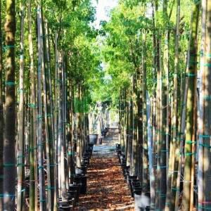 Şişe ağacı, Japon kavağı, Süs kavağı, Kurrajong - Brachychiton populneus (MALVACEAE)