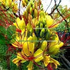 Cennet çiçeği, Tavus çiçeği, Aslan bıyığı, Paşa bıyığı, Bodur akasya,Cennet Çöl Kuşu, Sarı Kuş Cenne - Caesalpinia gilliesii (CAESALPINIACEAE)