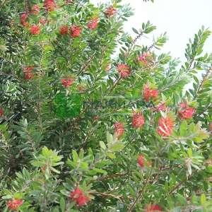 Şişe fırçası ağacı kısa tijli, baston formlu - Callistemon laevis half tige (MYRTACEAE)