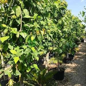 Kananga,Parfüm Ağacı,Çiçeklerin şahı - Cananga odorata (ANNONACEAE)