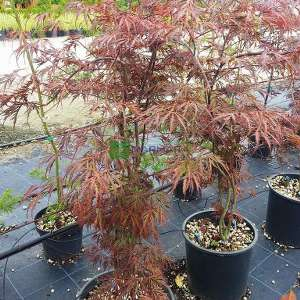 Japanese Maple Red Pygmy