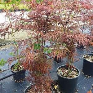 Red pygmy japon akçaağacı - Acer palmatum red pygmy multi stem (ACERACEA)