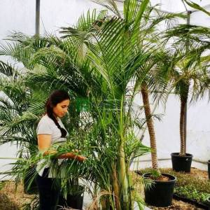 Areca Palmiye, Kelebek Palmiye, Altın kamış Palmiye, Madagaskar Palmiyesi - Chrysalidocarpus lutescens (Dypsis lutescens) (ARECACEAE)