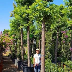 Kafur Ağacı,Tarçın ağacı - Cinnamomum camphora (LAURACEAE)