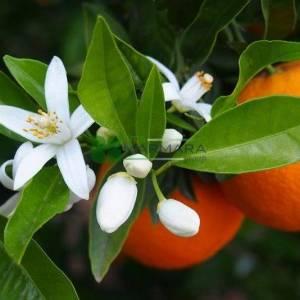 Narenciye Çeşitleri, Ekşi Portakal, Seville Portakal - Citrus aurantium (RUTACEAE)