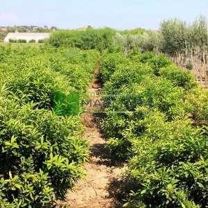 Kumkuat,Kamkat, Mini portakal,Altın Portakal - Fortunella margarita (RUTACEAE)