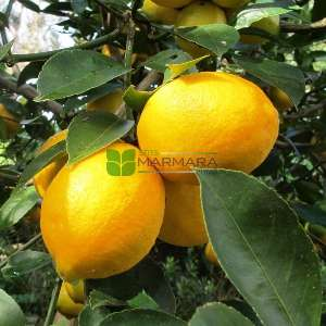 Narenciye, Limon, Meyer limonu - Citrus x lemon meyeri (RUTACEAE)