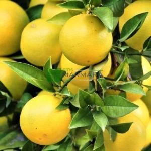 Narenciye,Greyfurt - Citrus x paradisi (RUTACEAE)
