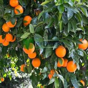 Narenciye, Mandalina, - Citrus reticulata (RUTACEAE)