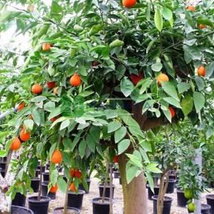Narenciye Çeşitleri, Tatlı Portakal, Göbek Portakalı - Citrus sinensis (RUTACEAE)