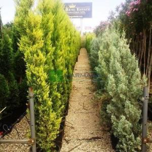 Limoni servi, Kokulu monteri servisi piramit formlu - Cupressus macrocarpa goldcrest (CUPRESSACEAE)
